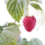 raspberry_leaf